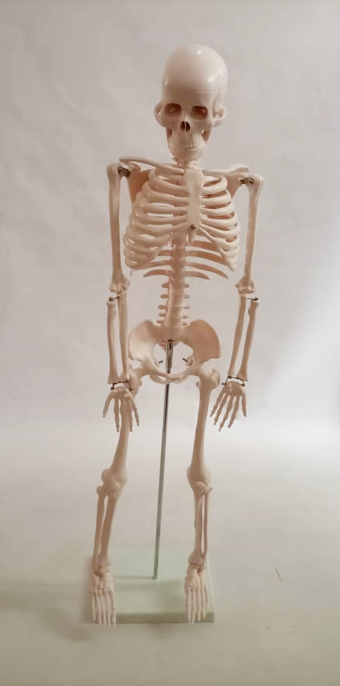 skeleton2 1